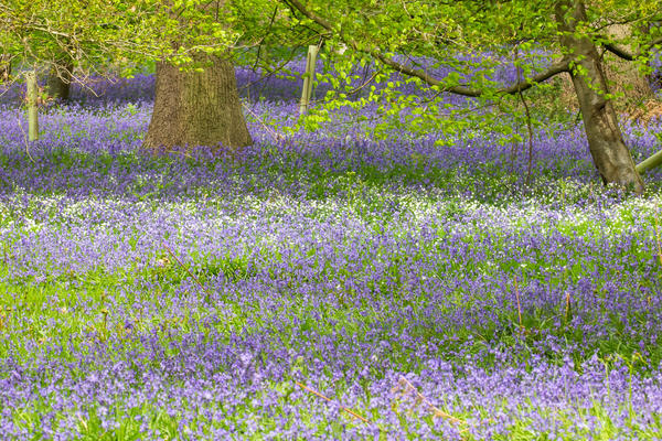 bluebell wood p1010746