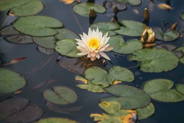 Lily Pond (Wallman Lo Res)