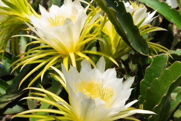 Queen of the night (Hylocereus undatus) - glasshouse - botanic garden