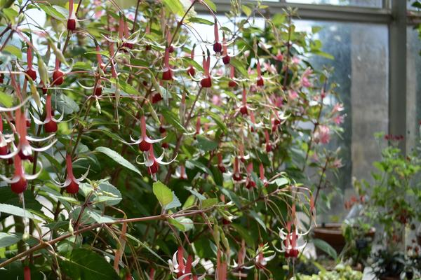 Fuchsia Display in the Conservatory
