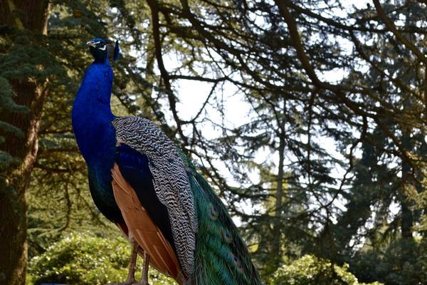 Peacock at the Arboretum