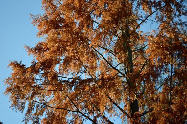 Dawn Redwood Autumn Colour