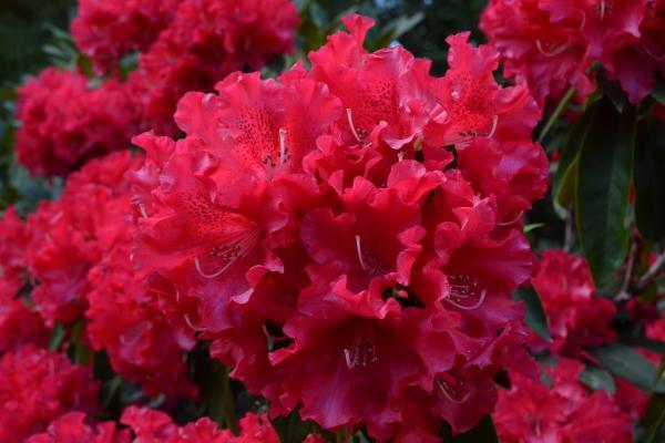 Rhododendron 'Jean Marie de Montague