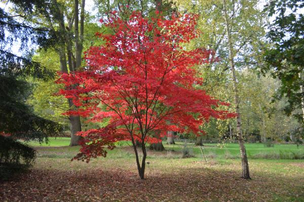 The Acer Glade in autumn