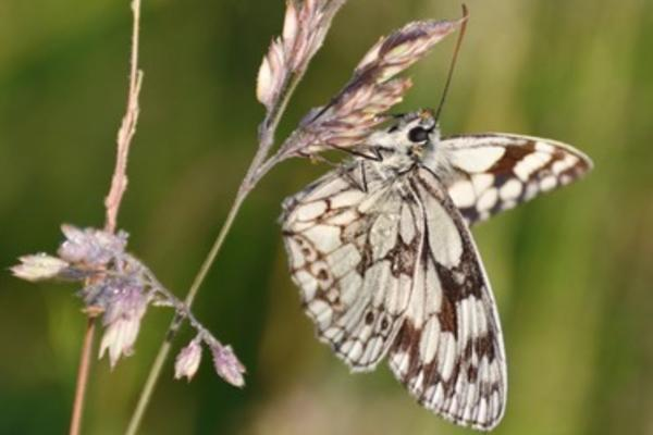 knepp estate butterfly