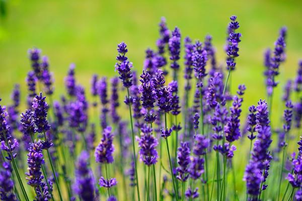 lavender 1117275