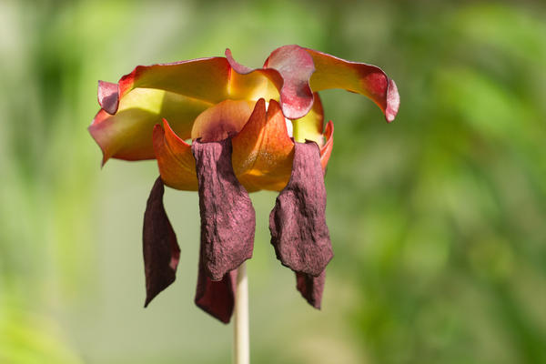 Pitcher plant flower - Oxford Botanic Garden - Glasshouses