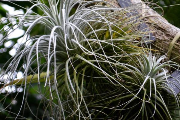 palm house tillandsia tectorum