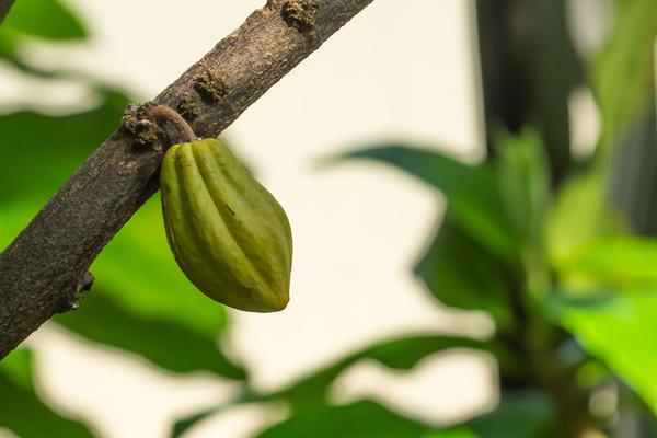 theobroma cocao  rainforest house  botanic garden  glasshouses