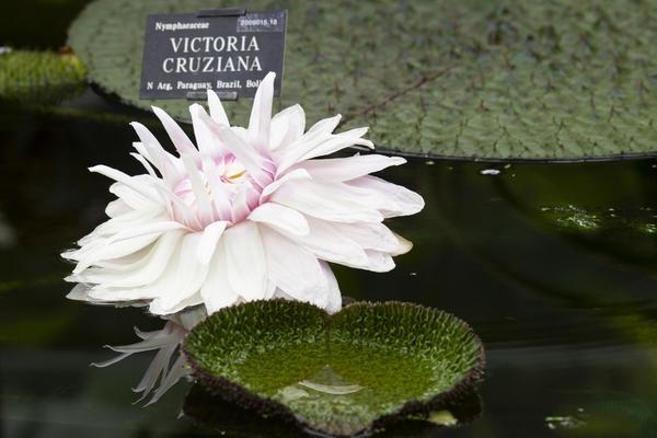 victoria cruziana  glasshouses  water lily house  botanic garden p1012288