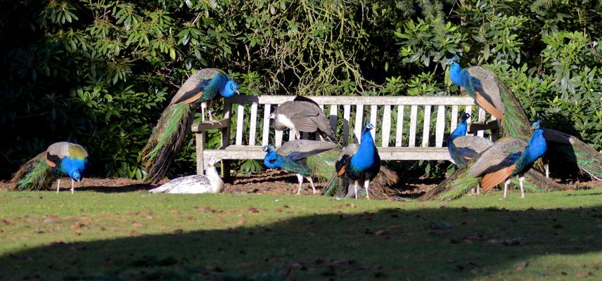 Bench of Peacocks