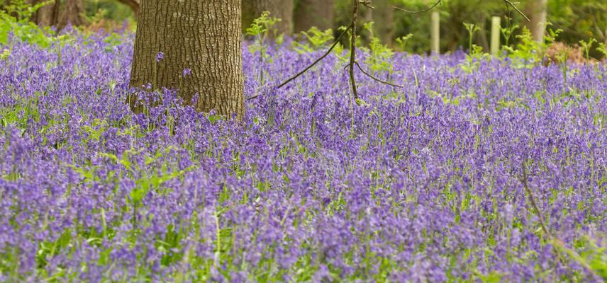 Bluebell Wood - Harcourt Arboretum