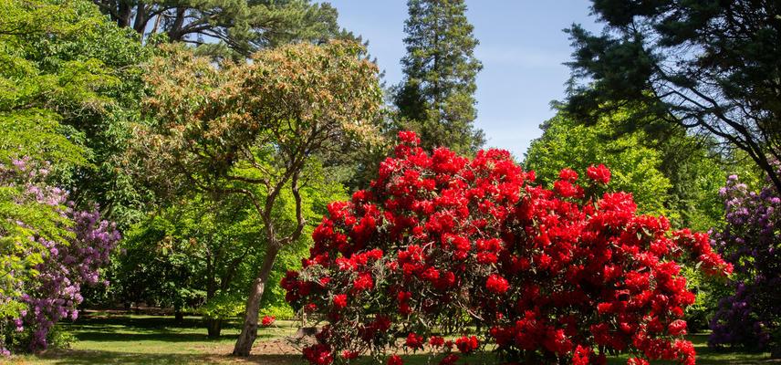 Rhododendrons - Harcourt Arboretum