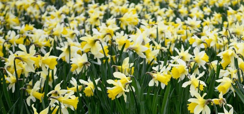 sea of daffodils at arb