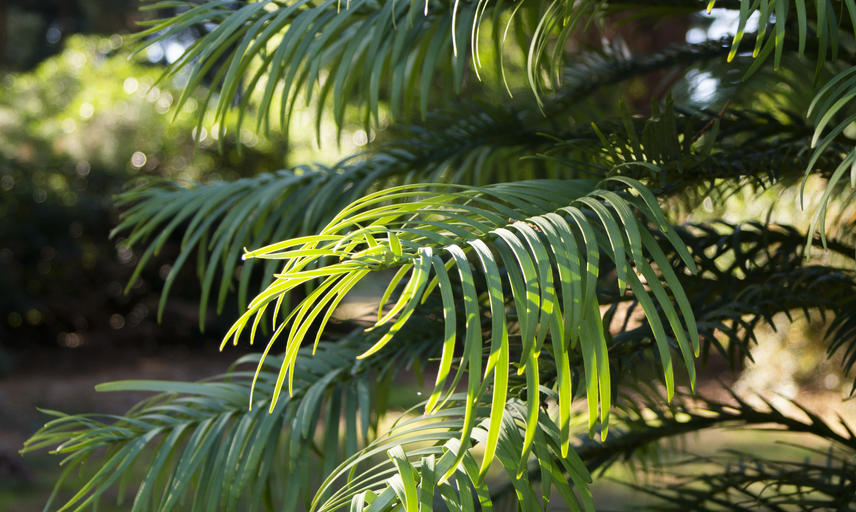 Wollemi pine - Harcourt Arboretum - Threatened Tree Trail