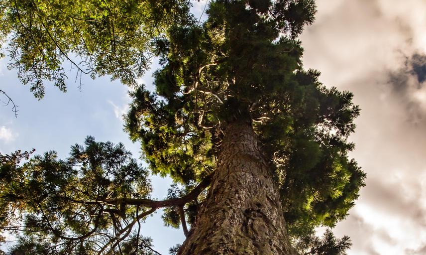 sequoiadendron giganteum - Giant redwood - Harcourt Arboretum
