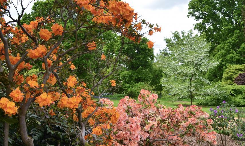 Azalea and Handkerchief Tree