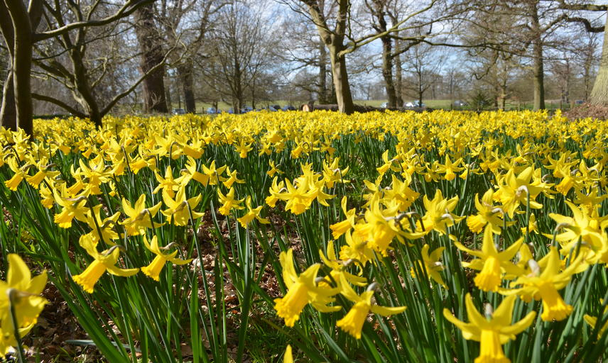 Arboretum Daffodils