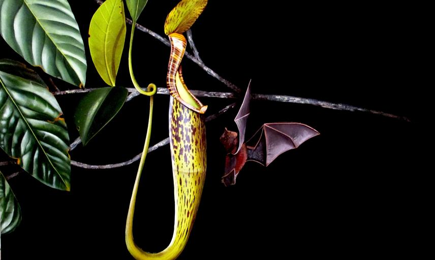 evolution of carnivorous pitcher plants
